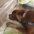 Anzeige Spürhund Keno Igelfund... Doch leider war das Gartenhaus abgeschlossen...