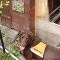 Anzeige Spürhund Keno: unter diesem Gartenhaus befindet sich ein Igelnest