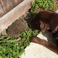 Anzeige Spürhund Keno: ein Igel vor seinem Igelnesteingang