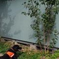 Anzeige Spürhund Yuma: unter diesem Gartenhaus befindet sich ein Igelnest