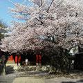 東急大井町線荏原町駅:旗岡八幡神社:桜