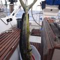 Unsere erste Dorade, 110cm lang und 6,7kg schwer