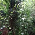 Teilweise Urwald