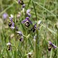 Ophrys Bourdon 2