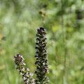 Orchis Brulé 4