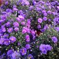 chrysanthemen_gaertnerei_heins