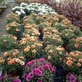 chrysanthemen2_gaertnerei_heins