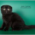 Шотландский вислоухий кот черный  SFS n, питомник Anthology