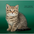 Шотландский  кот окрас  черный пятнистый SCS n24, питомник Anthology