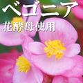 ベゴニア花酵母使用