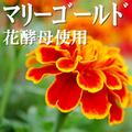 マリーゴールド花酵母使用