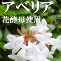アベリア花酵母使用