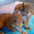 Junghörnchen: noch deutlich kleiner, aber schon erkennbar ein  Hörnchen