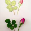 Botanisches Zeichnen: Heckenrose, Vorzeichnung mit Bleistift, Kolorierung mit Aquarell-Farben (Zwischenstufe)