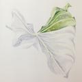 Botanisches Zeichnen: Callablatt, Kolorierung mit Buntstiften II