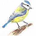 Mésange bleue - Crayons de couleur