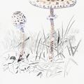 Lépiote élevée-Parasol mushroom-Macrolepiota procera-© Olivier Loir