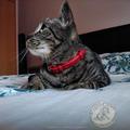 "collier pour ""Miya"" petite chatte,  réalisation à l'ancienne, couture main point sellier, N'anima Cuir ©"