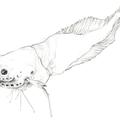 Schneckenfisch2
