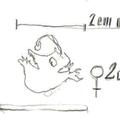 Anglerfischweibchen