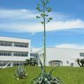 2015.6.29 アスパラに似てる Asparagus?