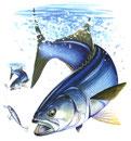 teeshirt pêche de bar de ligne