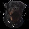 AGENCE ACP SECURITE Rennes Bretagne Maitre chien