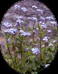 fleur de montagne - appartement-myosotis