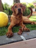 foxred Labrador Hündin Ruby