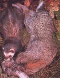 Iltis fängt Beutetier, dass bedeutend größer ist, durch Nackenbiß.