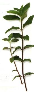 """LAROUSSE, """"Encyclopédie des Plantes Médicinales"""""""