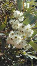 Eucalyptus calycogona