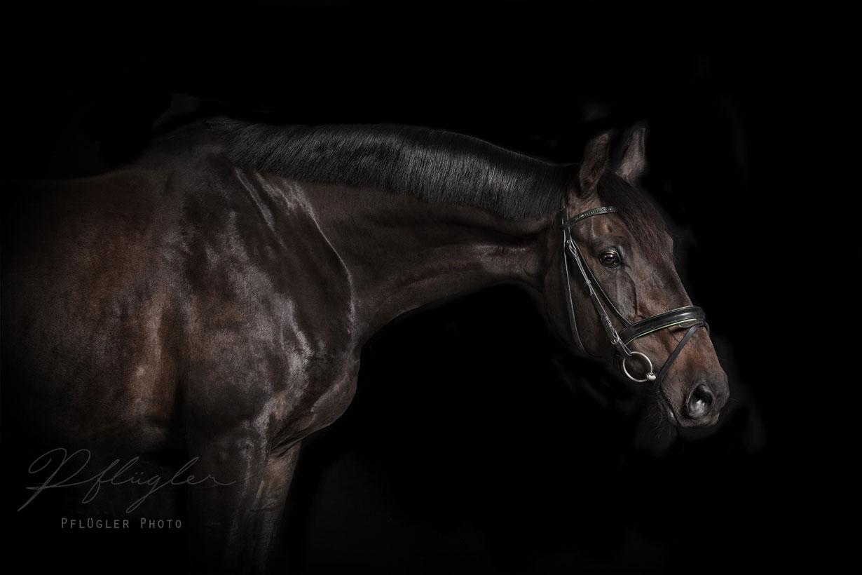 Pferdefotografie Pferde im Fotostudio mit schwarzem Hintergrund. Dunkelbrauner Hengst mit Trense