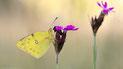Pieridae (Weißlinge)