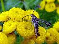 Sesiidae (Glasflügler)