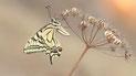 Papilionidae (Ritterfalter)