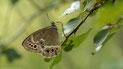 Nymphalidae 2 (Augenfalter)