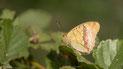 Nymphalidae (Edelfalter)