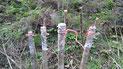 Injertar árboles viejos de durazno