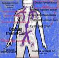 Lymphdrainage praxis Carol Petrig Meggen, Physiotherapie Carol Meggen, Massage Lymphdrainage Meggen, Lymphdrainage Küssnacht am Rigi, Lymphdrainage Luzern carol petrig, Physiotherapie Carol Lymphdraiange, Monacao, , Lymphknoten, Ductus Lymphaticus, ASCA