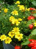 Sommerblumen, Ilona M. Schütt, www.basenfasten-hamburg.net