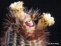 Coleocephalocereus diersianus