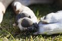 le coussinet d'un chien blanc assis dans l'herbe par coach canin 16 éducateur canin en charente