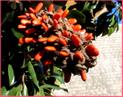 Fruit du Magnolia grandiflora