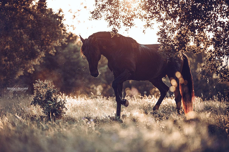 Pferdefotografie, Lusitano im Sonnenuntergang