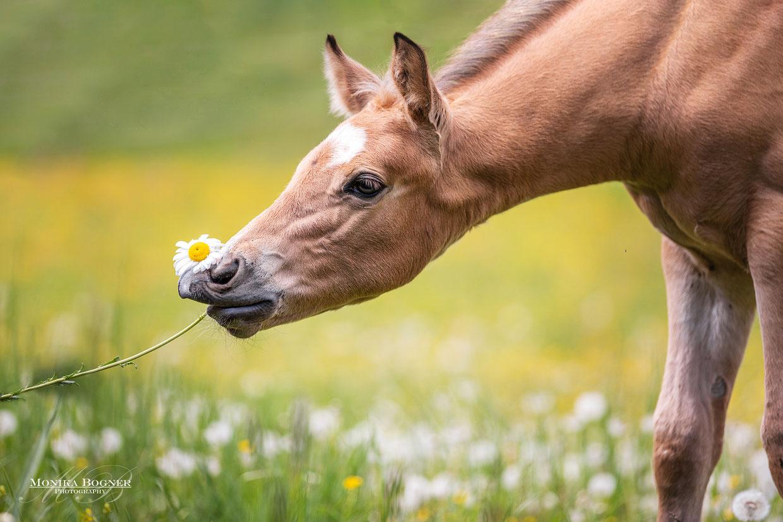 Quarter Horse Fohlen, bukskin