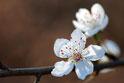 Wandbild, Wanddeko, Kirschblüte, Bild, Foto, Frühling, Blüte, postkarten bestellen