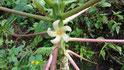 Neue Pflanzenversuche wie hier Papaya