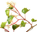 Bach Blüten Nr. 32 Vine Weinrebe