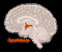 Stoffwechselkur, Hypothalamus